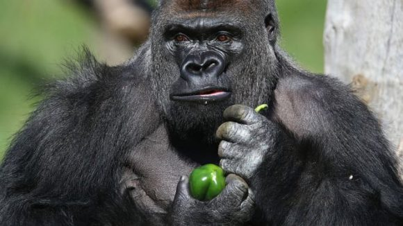 A gorilla holding a piece of food.